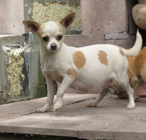 Embarazos Partos Bloqueo Y Cesárea En Perros Chihuahuas