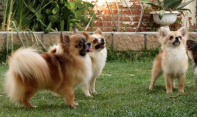 venta de perros chihuahuas: